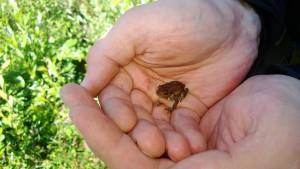 Ruotsalainen sammakko